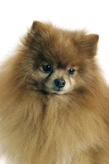 Dog - Pomeranian / dwarf German Spitz