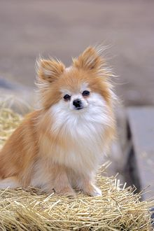 Dog - Pomeranian / Dwarf spitz, male sitting on strawbale