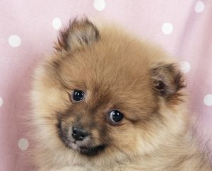 Dog - Pomeranian puppy (10 weeks old)