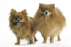 Dog - Pomeranian. smallest member of the German Spitz Group