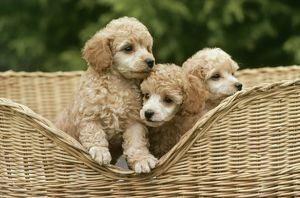 Dog - Poodle toy puppies in basket