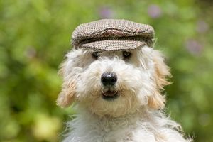Dog - Poodle wearing a flat cap