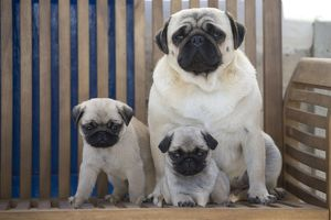 Dog Pug adult and puppies