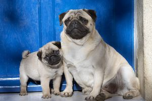 Dog Pug adult and puppy