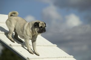 Dog - pug on agility course