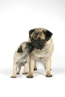 DOG. PUG ( fawn ) with 7 week old puppy
