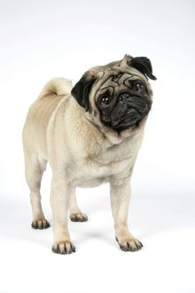 DOG. PUG ( fawn ) with its head cocked