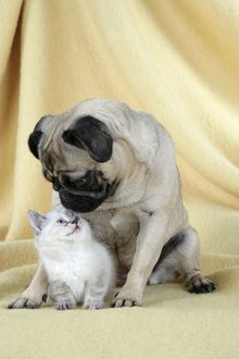 DOG. Pug with a kitten