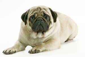 Dog - Pug. Also know as Carlin or Mops