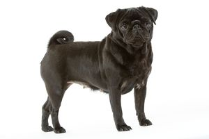 Dog - Pug. Also known as Carlin or Mops