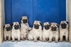 Dog Pug puppies in a row