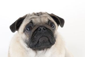 DOG - Pug puppy (head shot)