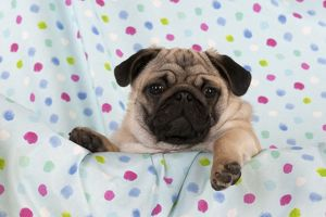 DOG - Pug puppy on spotted blanket