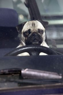 DOG - pug sitting behind wheel of car