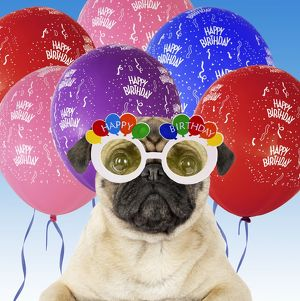 DOG - Pug wearing Happy Birthday glasses with streamers