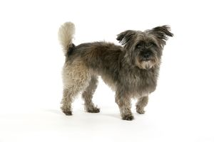 DOG - Pugairn - Pug cross Cairn Terrier