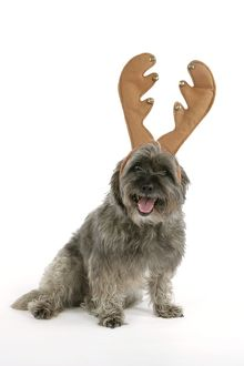 DOG - Pugairn - Pug cross Cairn Terrier wearing antlers