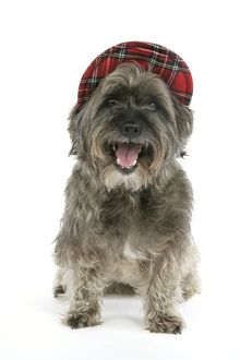 DOG - Pugairn - Pug cross Cairn Terrier wearing a tartan hat