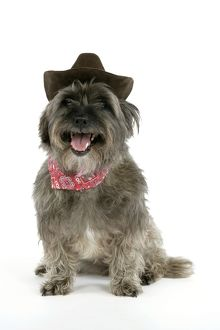 DOG - Pugairn - Pug cross Cairn Terrier wearing a cowboy hat and scarf