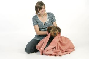 Dog - Puppy (Briard) being dried with large towel