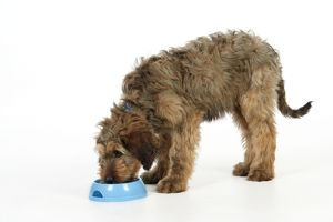 Dog - Puppy (Briard) eating from bowl