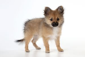 Dog Puppy X breed Pomeranian X Chihuahua