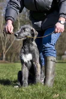 Dog - pure bred young Irish Wolfhound (+/- 5 months