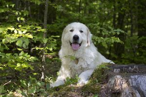 Dog Pyrenean Mountain Dog / Great Pyrenees