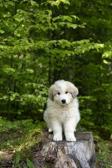 Dog Pyrenean Mountain Dog / Great Pyrenees puppy