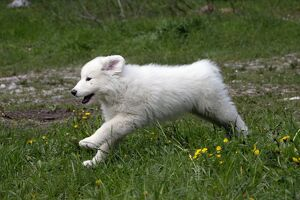 Dog Pyrenean Mountain Dog / Great Pyrenees puppy running