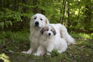 Dog Pyrenean Mountain Dog / Great Pyrenees with puppy