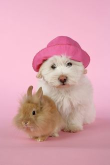 DOG & RABBIT - Coton de Tulear puppy (8 wks old) wearing hat with a lion head rabbit