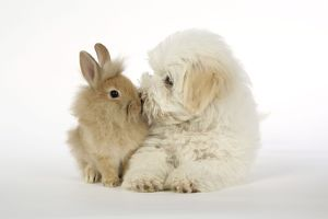 DOG & RABBIT - Coton de Tulear puppy (8 wks old) kissing a lion head rabbit (6 wks old)