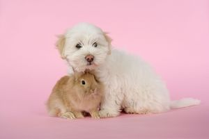 DOG & RABBIT - Coton de Tulear puppy (8 wks old) with a lion head rabbit (6 wks old)