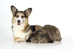 Dog and Rabbit - Pembroke Welsh Corgi and French lop in studio