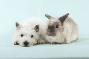 DOG & RABBIT - West Highland White Terrier - laying next to Lionhead Rabbit