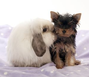 DOG & RABBIT - Yorkshire terrier puppy sitting with mini lop