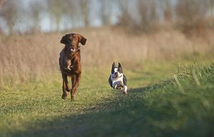 Dog - Red Setter / Irish Setter & Boston Terrier - running
