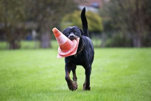 Dog - Rottweiler - at dog training school. Carrying traffic cone in mouth
