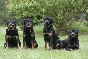 Dog - Rottweilers sitting down together