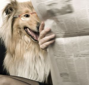 Dog - Rough Collie reading newspaper