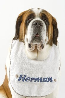 Dog - Saint Bernard wearing bib