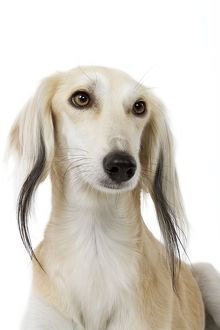 Dog - Saluki Greyhound