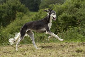 Dog - Saluki - running