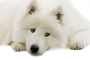 Dog - Samoyed