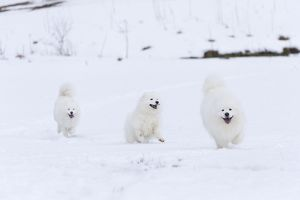 Dog - Samoyed 3 together in snow