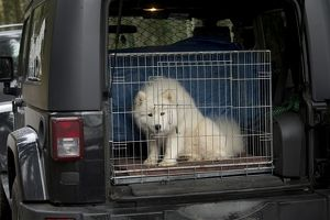 Dog - Samoyed in cage in back of vehicle