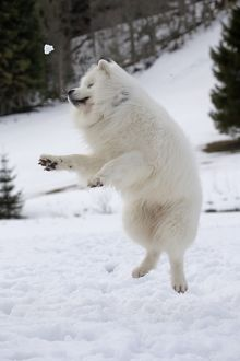 Dog - Samoyed jumping in snow