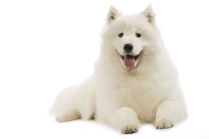 Dog - Samoyed - lying down