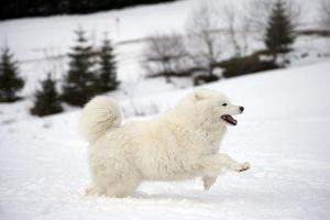 Dog - Samoyed running in snow